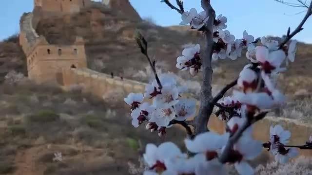 Apricot Blossoms Delight Jinshanling Great Wall