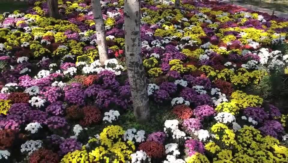 Beijing Botanical Garden Attracts Visitors for Chrysanthemum Exhibition