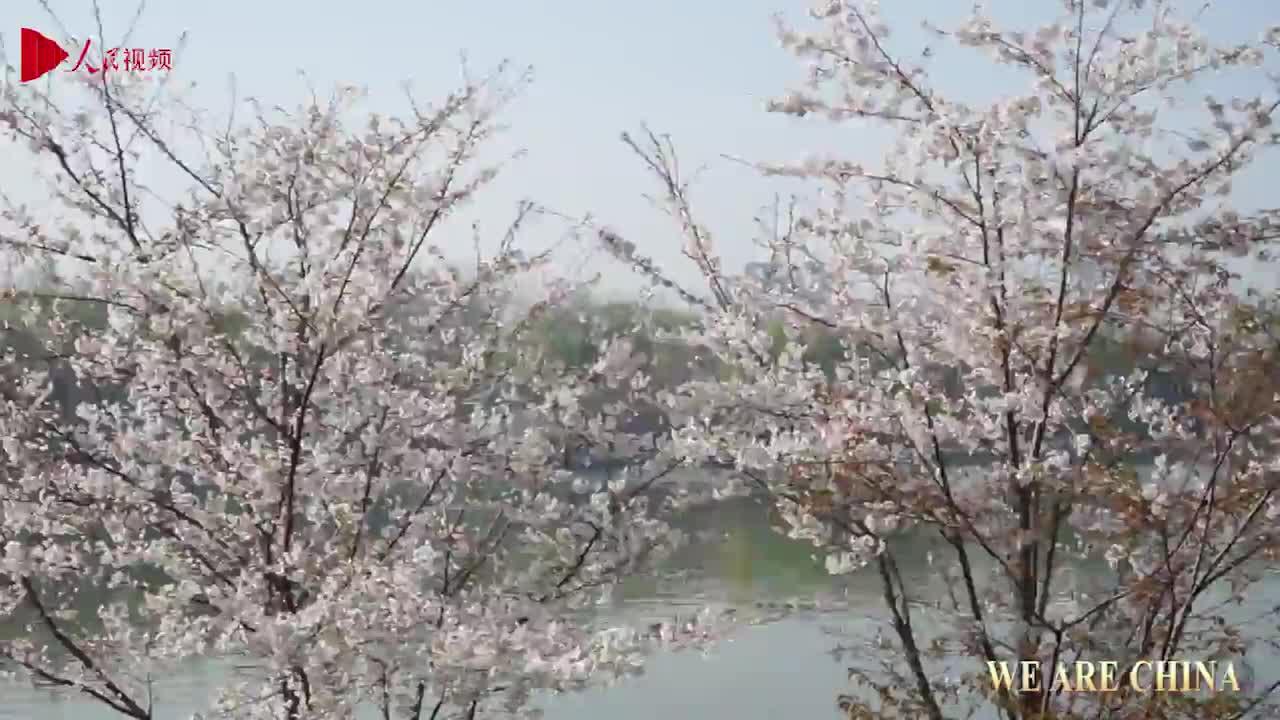Cherry blossom season arrives in Beijing